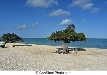 White sand beach with a pair of divi divi trees.
