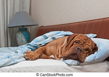 Lovely dog of Dogue De Bordeaux breed is Sleeping in the Bed...