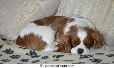 Lovely dog sleeping on couch - Lovely dog, Cavalier King...