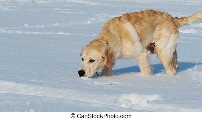 Lovely golden retriever dog sniffing in sparkling snow