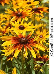 Lovely Garden Full of Black Eyed Susans