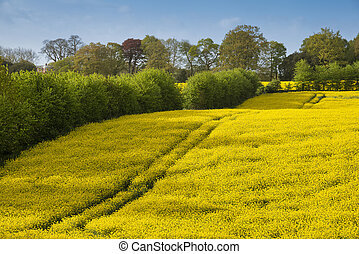 Lovely landscape image of rapeseed canola field in beautiful soft Spring morning sunlight in English countryside