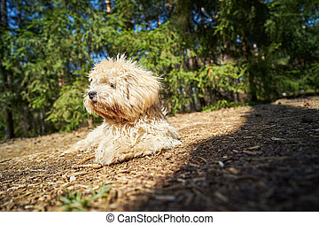 little dog lies on the pine needles in the summer pine forest