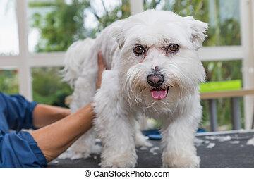 Lovely Maltese dog is trimmed