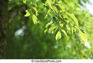 (lovely, naturel, tones), beatiful, -, soleil, arbre, fond, lit, vert, branche, hêtre, frais, rafraîchissant