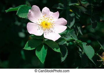 Lovely pink flowers of dog-rose