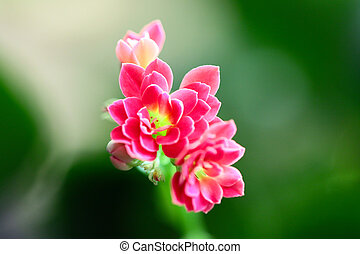 Lovely pink small flowers of a house plant stock photo search pink small flowers lovely pink small flowers of a house plant mightylinksfo