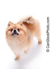 Lovely pomeranian spitz puppy.