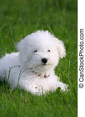 Lovely puppy - A cute bichon frise puppy, in the grass