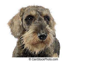 lovely puppy wired hair dachshund portrait in white photo studio