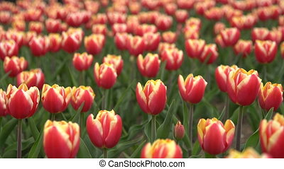 Lovely red tulips swaying in the wind