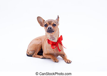 Lovely russian toy chihuahua with red bow.