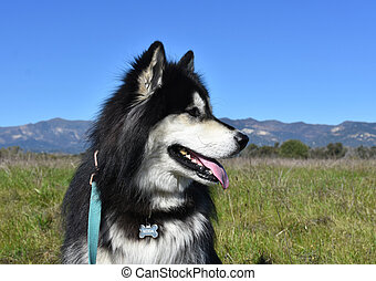 Lovely Siberian Husky Dog Sitting in a Field with Mountains