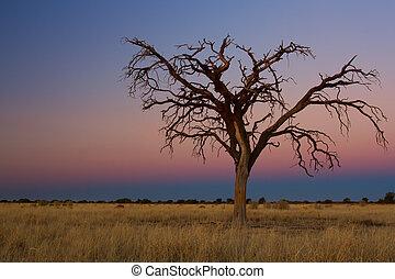 Lovely sunset in Kalahari with dead tree