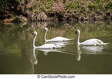 Lovely swans live in the pond
