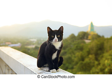 lovely thai black and white cat sitting on terrace against beautiful morning light