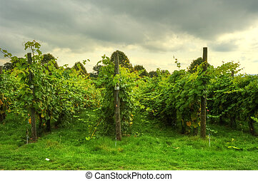 Lovely vineyard scene with dramatic sky background