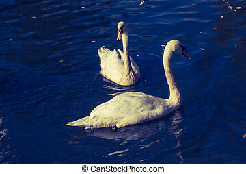 Lovely white swans live in the pond
