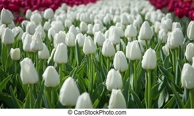 Lovely white tulips swaying in the wind