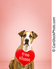 """Lovely young pitbull terrier dog with """"free kisses"""" paper heart. Staffordshire terrier puppy poses in colorful pink studio background with valentine's day sign on shoulders"""