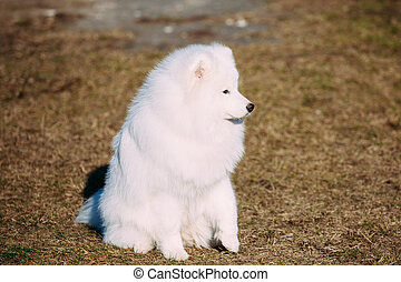 Lovely Young White Samoyed Dog in Park.