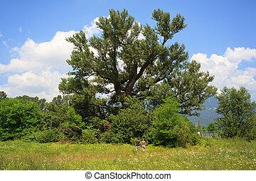 Big beech tree - Lovers go to the Big beech tree, Slovenia...