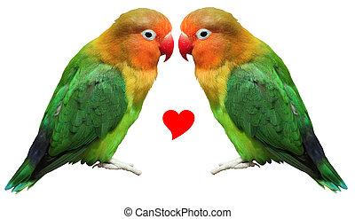 Loving bird agapornis-fischeri - Two colored bird agapornis-...
