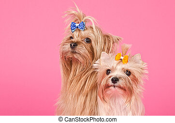 Loving Couple of Yorkshire Terriers on Pink Background