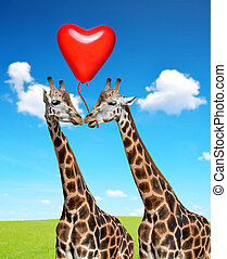 Loving giraffes. - Loving giraffes with balloon in the shape...