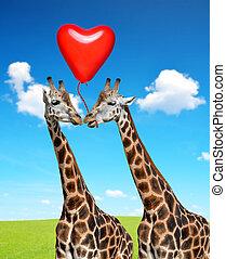 Loving giraffes. - Loving giraffes with balloon in the shape...