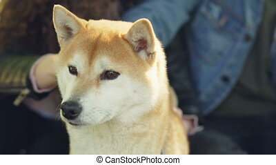 Loving owners of shiba inu dog are petting and fussing their...