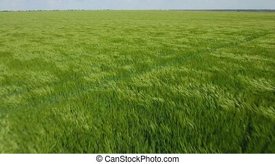 Low aerial shot of a wheat green field with impressive...