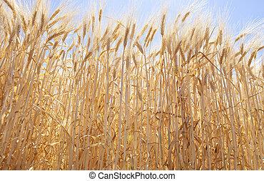 Low angle barley field