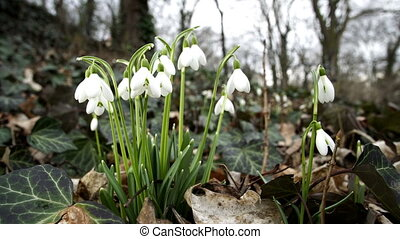 Low Angle Dolly of Spring Snowdrop Flower - Close up dolly...