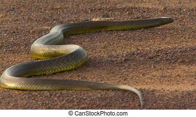 Low angle of a venomous taipan slithering away - An ...