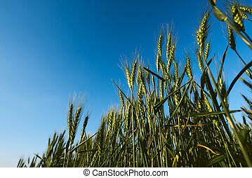 Low angle of green wheat crop field