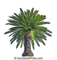 Low Angle Palm Tree Isolated Photo