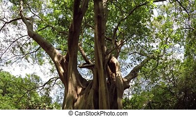 Low Angle Perspective of Mature Tropical Tree in Sri Lanka -...