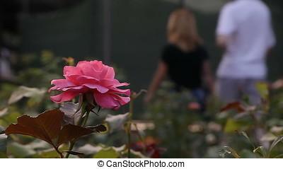Low Angle Pink Rose Macro
