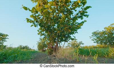 low angle shot of Bush hazelnut