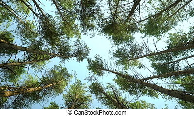 low angle shot of pine trees forest.