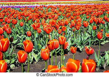 Low Angle Tulip View