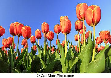 Low angle tulips