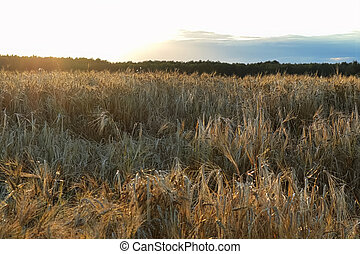 Low angle view of a barley field at sunset