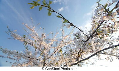 Low angle view of a blooming white cherry tree canopy. Slow...