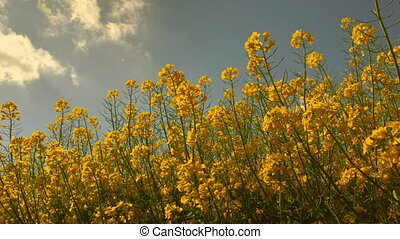 Low Angle View of a Canola Field