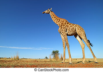 Low-angle view of a giraffe