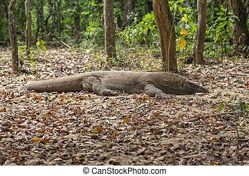 Low Angle View of a Komodo Dragon