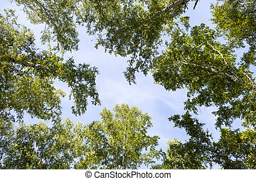 Low angle view of birch forest in spring