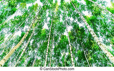 Low angle view of birch trees